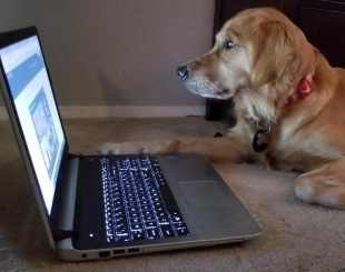 golden retriever watching videos