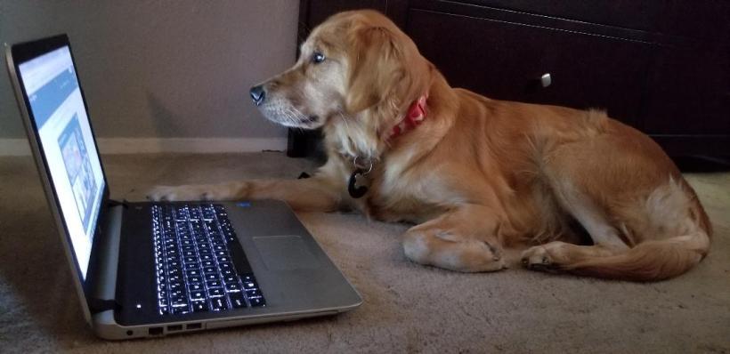 golden retriever watching videos