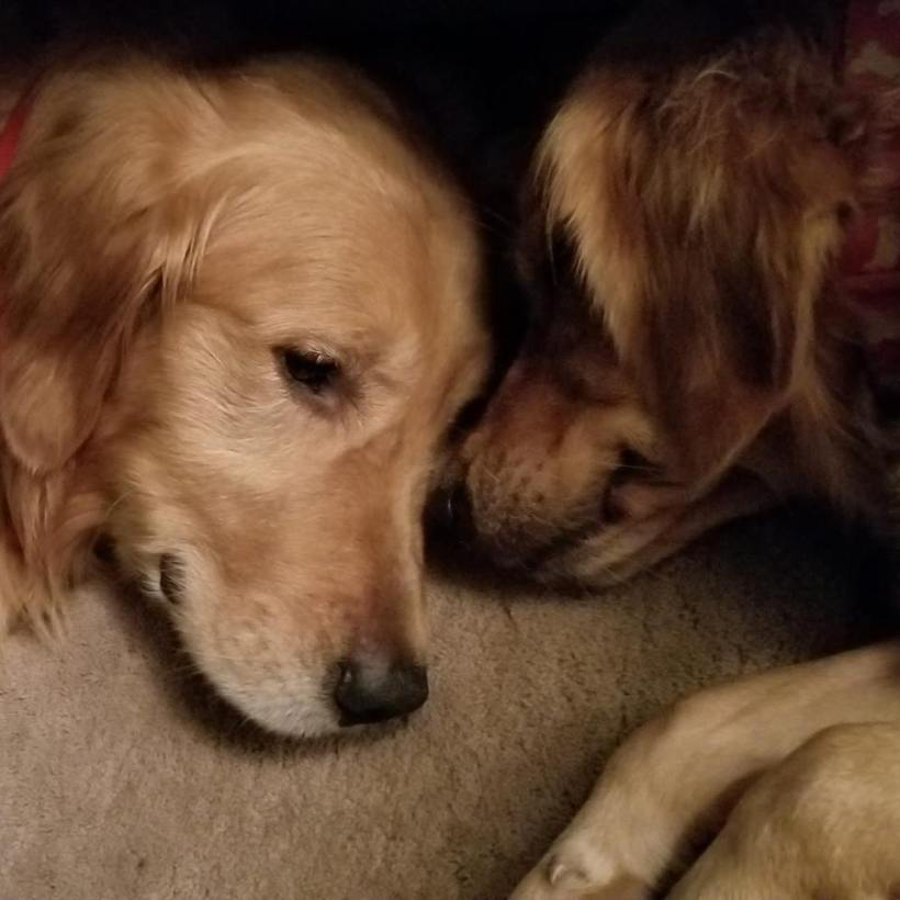 two golden retrievers.jpg